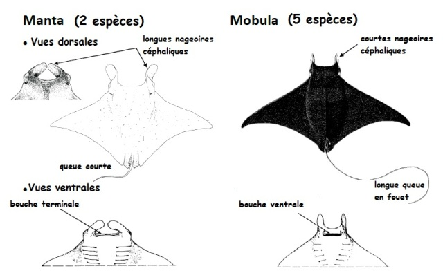 Mobula vs Manta