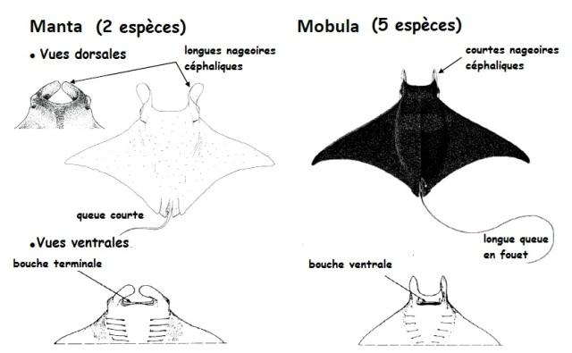 manta ray diagram ray diagram interactive #13