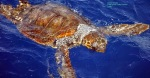 Réseau d'Alerte des Tortues marines en Corse