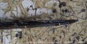 Raie pastenague violette (19 bis)  individu 1, A.Marcucci, cargèse, 28 07 2013